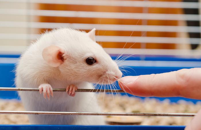 チンチラ ネズミ 値段