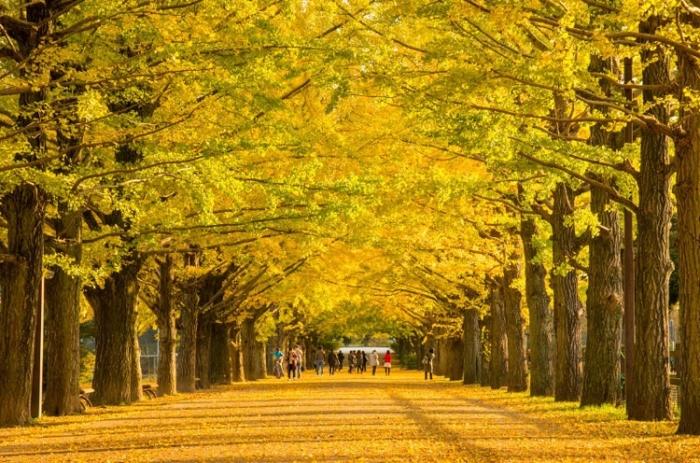 「名古屋市  銀杏並木 」の画像検索結果