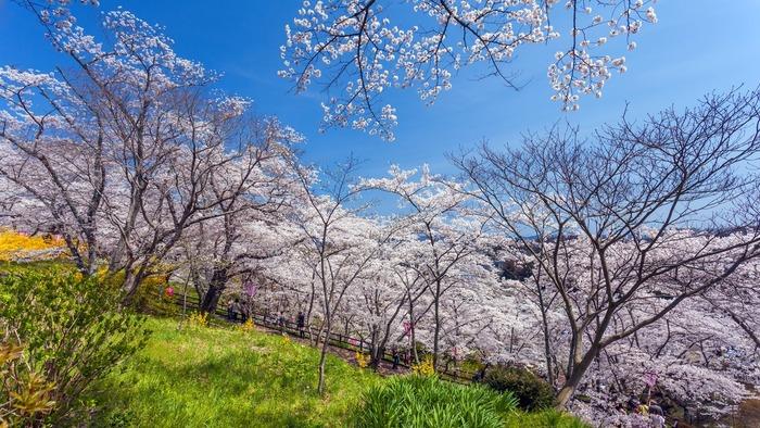 【仙台】桜の下でのんびり! 仙台の定番&穴場お花見スポット5選