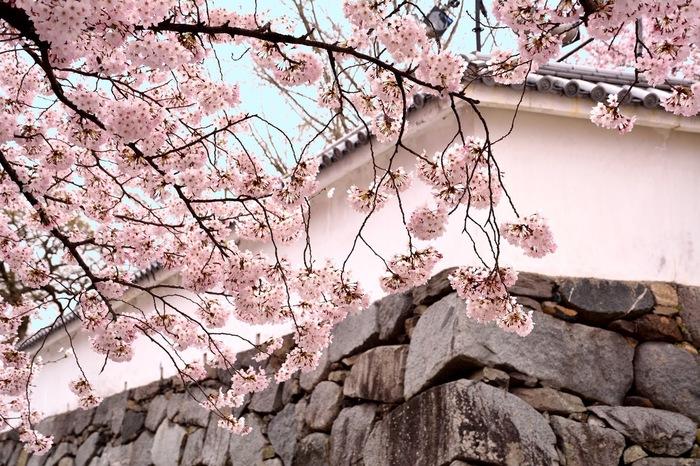 【博多】一面に広がる桜模様、花見にぴったりの桜の名所5選