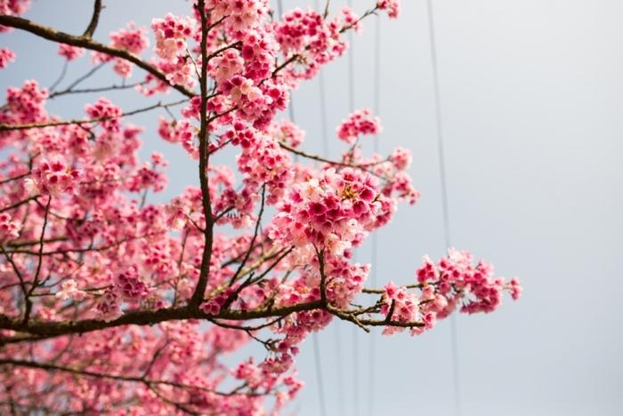"""【台北】1〜3月中旬が見頃! 台北市内の""""桜""""花見の名所5選"""