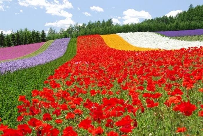 【北海道】富良野のラベンダー畑といえばココ! まるで絵本のような「ファーム富田」