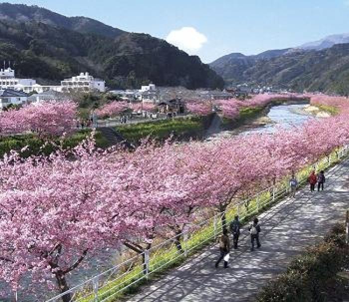 【2019年】静岡の河津桜で一足先に春満喫♪ 都内から行く3月発のバスツアー3選