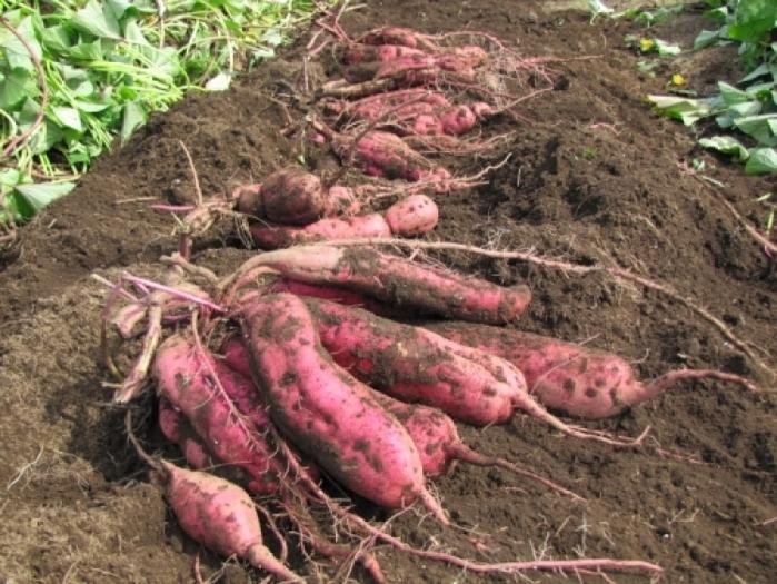 【東京】泥だらけで秋の行楽を楽しむ! 芋堀りできる農場5選