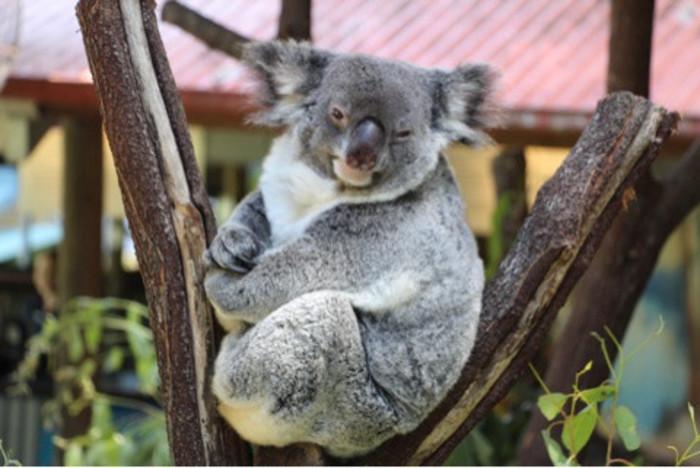 ケアンズコアラやカンガルーに出会えるケアンズのおすすめ動物園5選