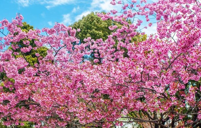 【2019年版】東京花見スポット完全ガイド! 都内で満開の桜を楽しもう:開花予想も紹介!
