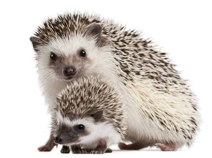 【ペット】ハリネズミの飼い方:種類・寿命・値段まとめ
