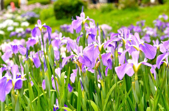 【東京】5月が見頃の夏の花と、花の名所まとめ:ツツジ、フジ他