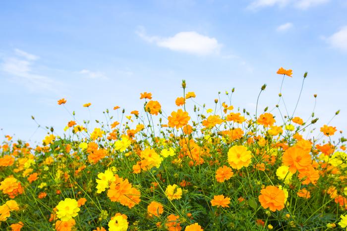 【東京】9月が見頃の秋の花と、花の名所まとめ:ヒガンバナ、コスモス他
