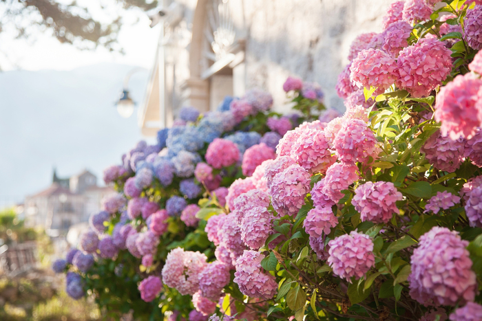 東京アジサイバラハナショウブ6月が見頃の初夏の花と花の名所