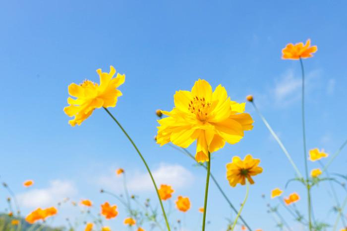 東京8月が見頃の夏の花と花の名所まとめキバナコスモス秋の七草
