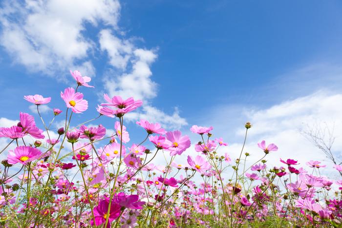 【2018年版】関西でこの秋行きたいコスモス畑の名所まとめ