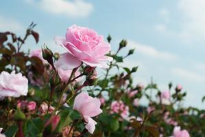 【関東】一度は訪れたいバラ園の名所まとめ