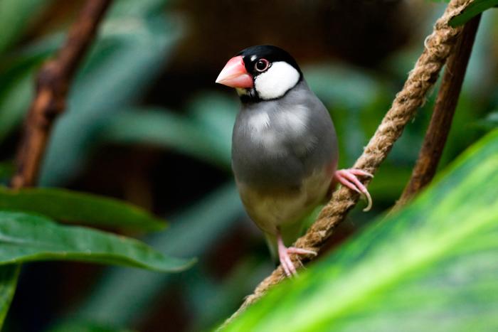 【ペット】文鳥の飼い方:種類・寿命・値段まとめ