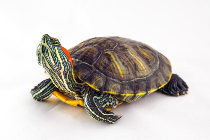ペット】亀の飼い方:種類・寿命...