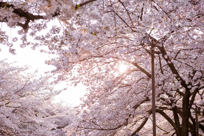 【2019年版】新宿のおすすめ花見スポット・名所6選:さくらの開花予想も紹介!