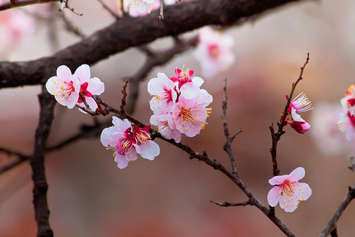 【2019年版】熊本のおすすめ花見スポット・名所11選:見頃はいつ?今年の開花予想日も紹介!