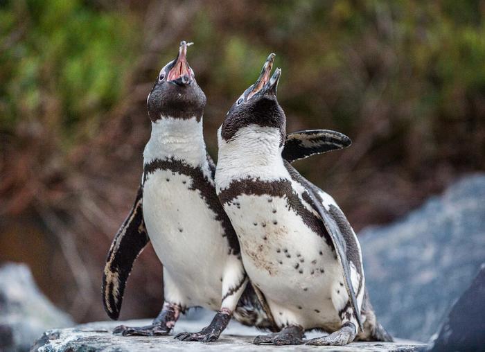 【ペット】ペンギンの飼い方:種類・寿命・値段まとめ