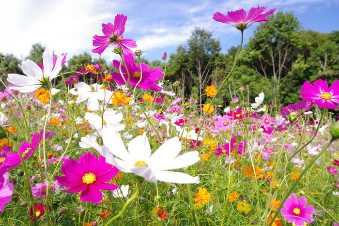 【東海地方のコスモス2018年版】花摘み体験やライトアップも楽しめるコスモスの名所10選