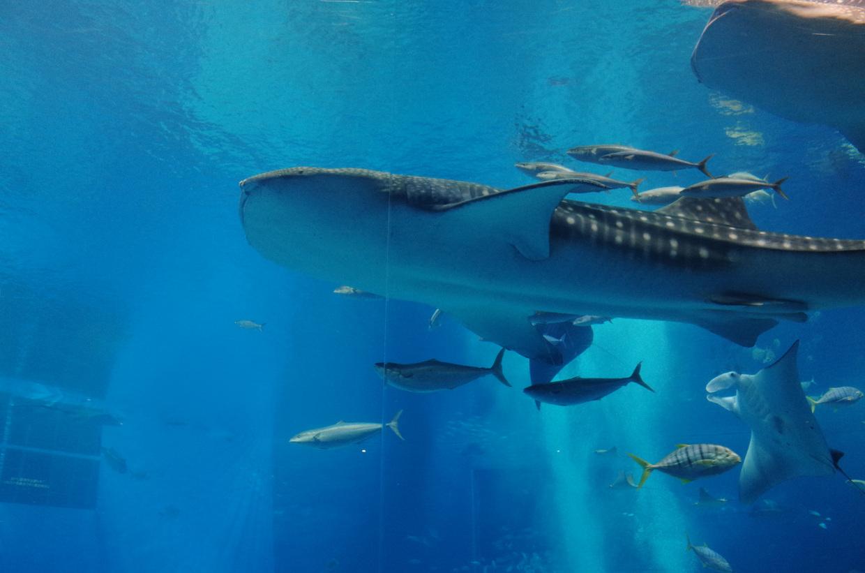 【沖縄】美ら海(ちゅらうみ)水族館の魅力徹底ガイド!圧倒的なスケールと美しさを体験しよう